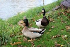 Ducks fazendo o que ducks faz foto de stock royalty free