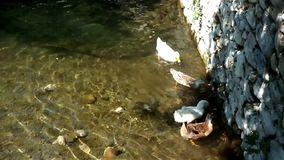 Ducks feed  in pond stock video
