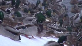 Ducks feed on the snow-covered shore in ice-free pond stock footage