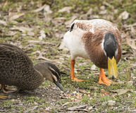 Pair of ducks feeding. Ducks of different species feeding together Royalty Free Stock Photo