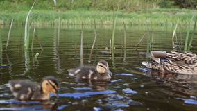Ducks. stock footage