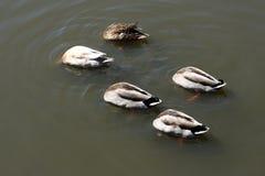 Ducks feeding upside down. Five ducks feeding upside down on a lake Stock Photo