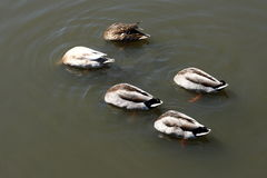 Ducks feeding upside down Royalty Free Stock Photo
