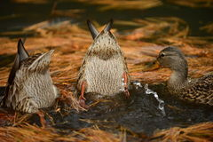 Ducks feedng Royalty Free Stock Images