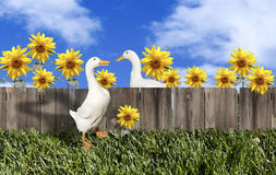 Ducks Fence Sunflowers royalty free stock photo