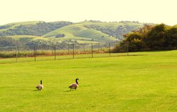 Ducks In The Field Royalty Free Stock Image