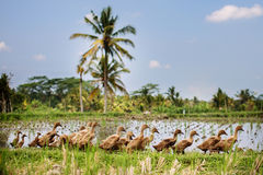 Ducks in the field Stock Images