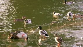 Ducks fight for food stock footage