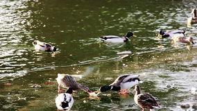 Ducks fight for food stock video