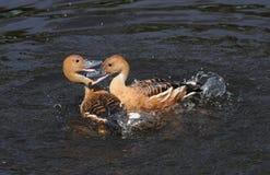 Ducks fighting Stock Photo