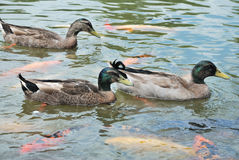 Ducks  and fish Stock Images
