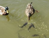 Ducks with fish Stock Image