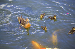 Ducks and fish Royalty Free Stock Photos