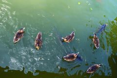 Ducks with fish in a pond. View from above. Nature. Birds Royalty Free Stock Images