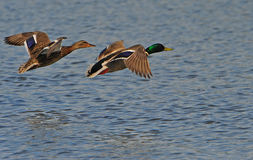 Ducks in flight. A male and female mallard flying over water Royalty Free Stock Photography