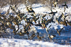 Ducks in Flight. Mallard ducks taking off from a small river in Nebraska after a snow storm Stock Photography