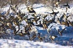 Ducks in Flight. Mallard ducks taking off from a small river in Nebraska after a snow storm Stock Photography