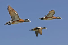 Ducks in Flight. Three mallard ducks in flight against blue sky Stock Photo