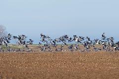 Ducks in flight royalty free stock photography