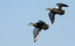 Ducks in flight Stock Image