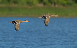 Ducks in flight Stock Photos