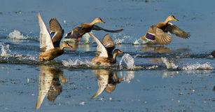 Ducks in flight Royalty Free Stock Images