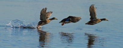 Ducks in flight Stock Image