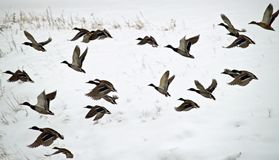 Ducks in Flight royalty free stock image