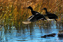 Ducks in flight. stock image