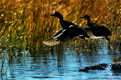 Ducks in flight. Royalty Free Stock Images