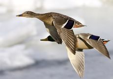 Ducks in flight. Two mallard ducks in flight Royalty Free Stock Photography