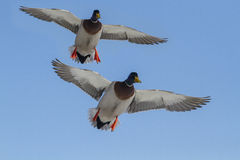 Ducks in flight Royalty Free Stock Photos