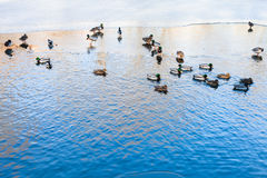 Ducks float in clearing of frozen river in winter Royalty Free Stock Image