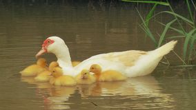 Ducks float in water. Ducks and their children float in the water Stock Images