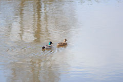 Ducks floating Royalty Free Stock Photo