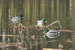 Ducks floating on the lake Stock Image