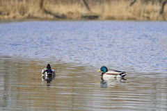 Ducks floating on the lake Royalty Free Stock Photos