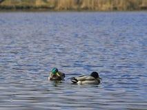 Ducks floating on the lake Royalty Free Stock Photo