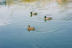 Ducks floating on the lake Stock Photos