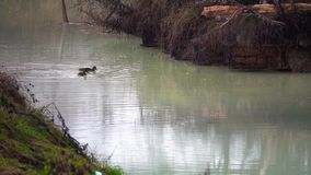Ducks Floating in Polluted with Chemicals Water. Environmental Problems Concept