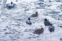 Male and female mallard ducks swimming in the river on a frosty winter morning;. Ducks floating on a river on a cold winter day Royalty Free Stock Image
