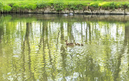 Ducks floating on the river Fiume Lambro passing through the par Stock Image