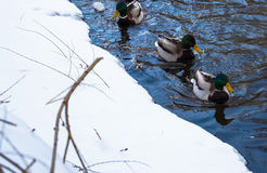 Ducks floating on the river in winter Royalty Free Stock Images