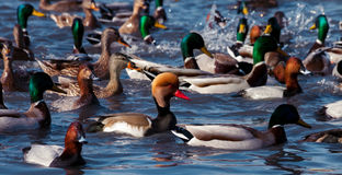Ducks floating on the water Stock Photography