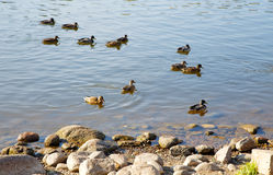 Ducks floating on water. In the autumn afternoon Royalty Free Stock Photo