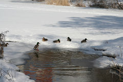 The ducks Stock Photo