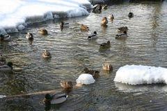 The ducks Stock Image