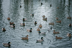 Ducks floats in water Stock Photography