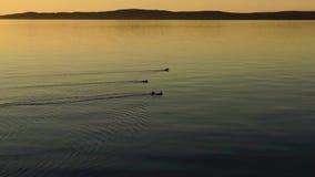 Ducks flock on the calm summer lake stock video