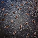 Ducks Royalty Free Stock Image